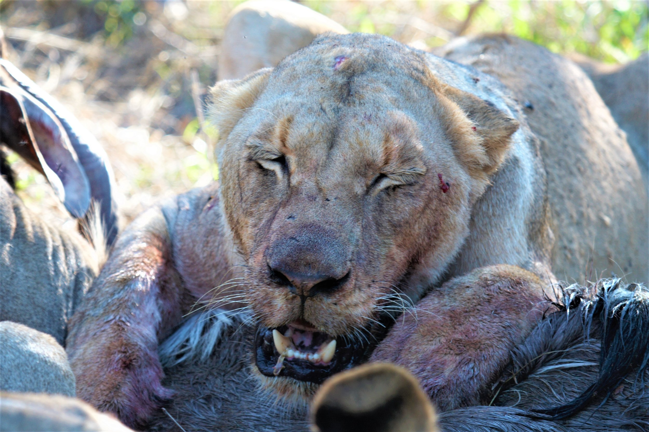 Lioness feasting on her kill