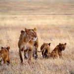 A lioness and cubs walk across the plains