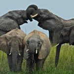 A herd of Elephant feeding and greeting each other