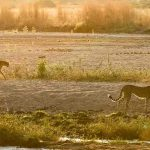 Cheetah walking in a river bed