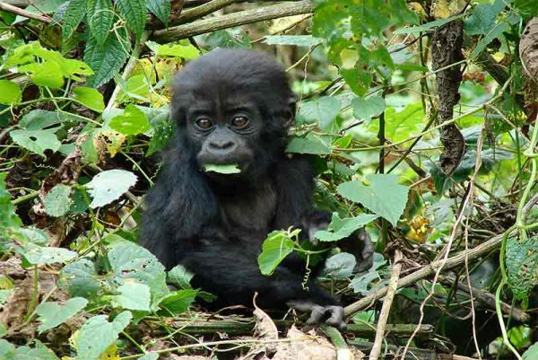 A baby Gorilla sitting in the foliage eating