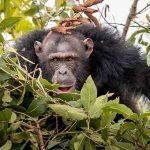 A chimpanzee in bushes at Rubondo Island Camp