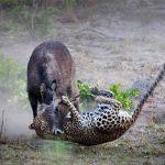 A Leopard attacks a Waterbuck at Nanzhila Plains Camp