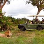 A vehicle in the bush with a lion close by