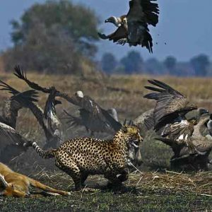 a cheetah chasing birds