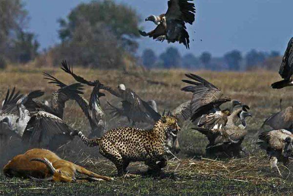 a cheetah chasing birds