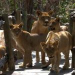 Several young lions on the walk ways at Mfuew Lodge