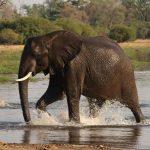 An Elephant walking in water close to Khwai Bush Camp