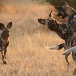 sEVERAL WILD DOGS AT PLAY