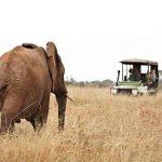 A bull elephant in long grass