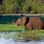A young elephant in water