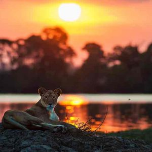 a lioness next to water with sunset behind her