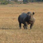 A rhino on a plain in the Serengeti