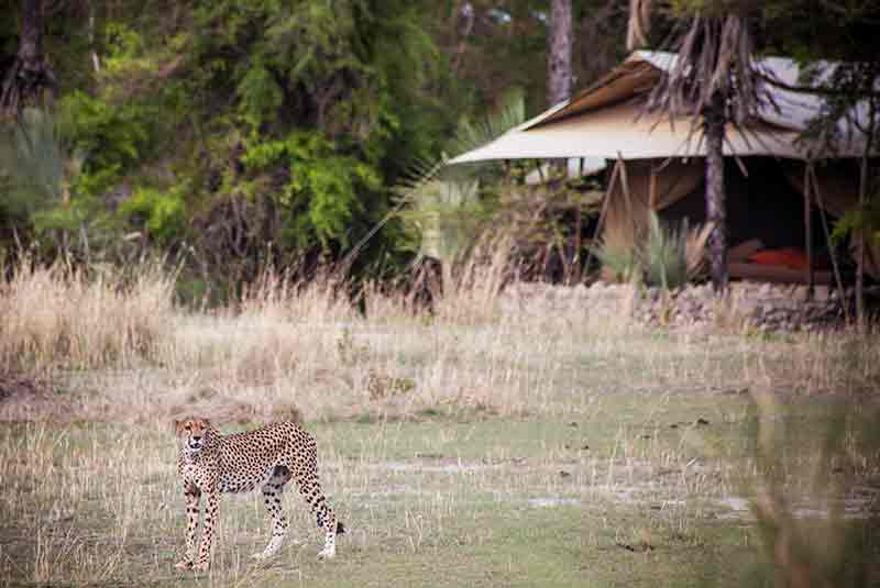A Cheetah walking past a chalet at Chem Chem Lodge