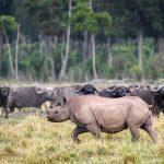 A Rhino walking past a large herd of Buffalo