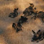 Several Wild Dogs resting in long dry grass close to Chiefs Camp