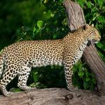 A leopard standing on a rock at Chitabe