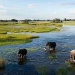 A small herd of elephant in water