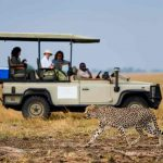 Guests in a game drive vehicle watch two cheetah walk past