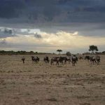 Wildebeest on the plains with thunderstorm clouds overhead