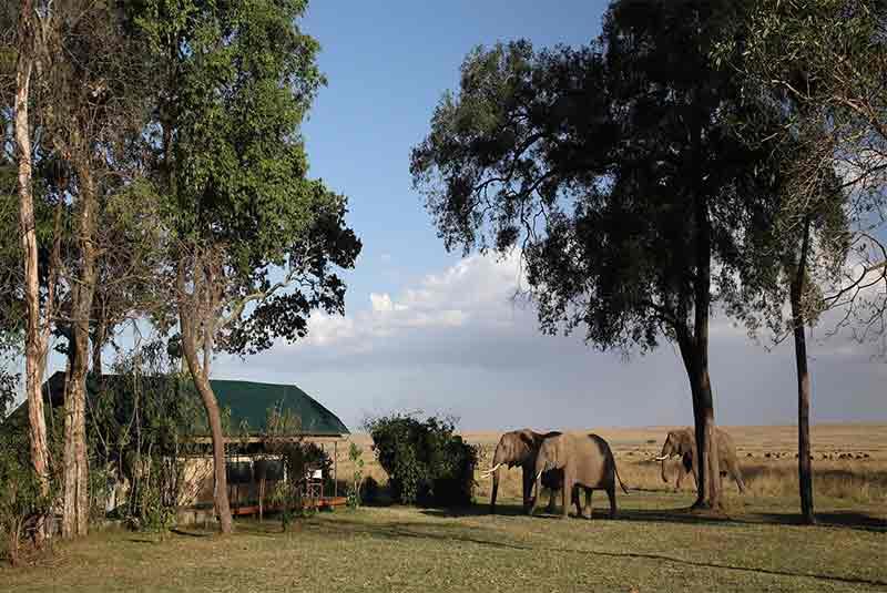 Three Elephants wandering past a safari tent