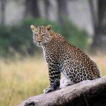 A Leopard sitting on a dead tree trunk