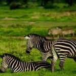 Zebra graze on green plains of grass