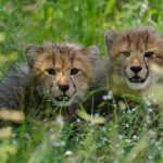 two Cheetah cubs in liong grass at Chitabe
