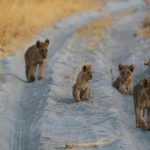 Four small lion cubs in a sandy road