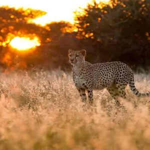 a cheeta standing in long grass with sunset behind it