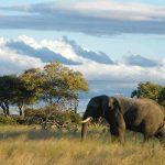 A bull Elephant grazing in Hwange