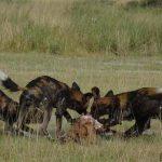 Wild Dogs on a kill