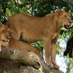 Two Lions in a tree