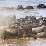 Wildebeest swimming across the Mara River