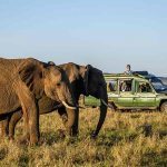 Two Elephants grazing in the Masai Mara with people in a safari vehicle watching