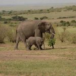 Elephant and calf in the Mara Reserve