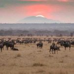 Wildebeest grazing on teh plains at sunset