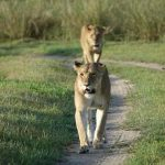 Two Lioness walking on a road