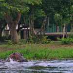 A pod of Hippo in the water in front of Bakers Lodge