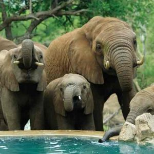 Several Elephants drinking from a swimming pool