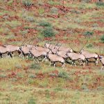 A herd of Oryx on a mountain side in Damaraland