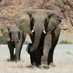 Elephants walking on the plains of Damaraland