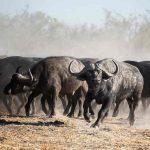 A herd of Buffalo at Qorokwe