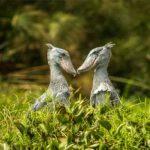 Two Shoebill birds in a green swamp