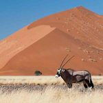 An Oryx standing in dry grass with a sand dune in the distance
