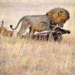 A lion drags a carcass across the Serengeti plains