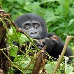 A young Gorilla peering over some vegetation
