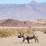 A Rhino walking across a road in Damaraland