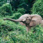 An elephant in bushes at Rubondo Island Camp