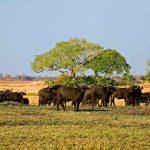 Ab herd of Buffalo on the Busanga plains